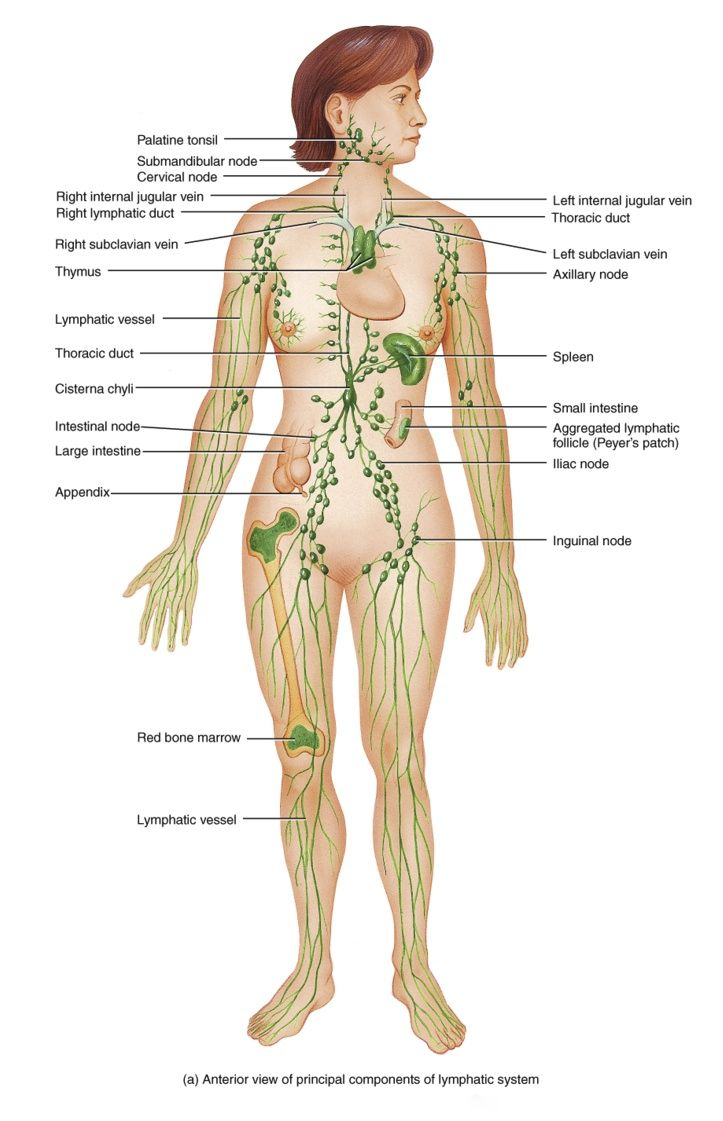 Lymphatic Enhancement Therapy Seed Of Life Arts